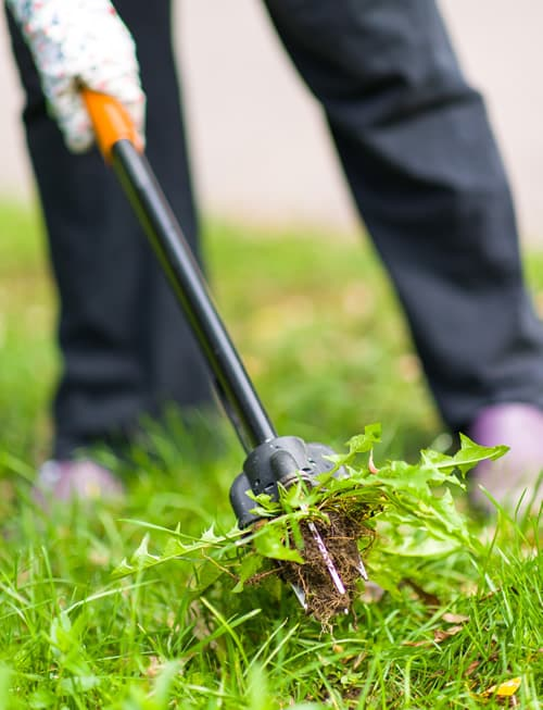 Worker pulling spring weeds from a green lawn